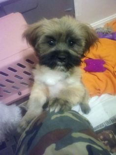 8/15/13 Baylee is a 12 week old shih Tzu Lhasa mix rescued from Craig's List. He had never seen a vet. Baylee is a great dog and he loves people and other dogs. He would make a great family pet in a home with older children.If you have sent an email...
