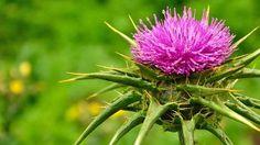 Ostropestřec mariánský (silybum marianum) je statný bodlák, kvete fialově, ve volně přírodě se takřka nevyskytuje, ale dá se lehce vypěstovat na…