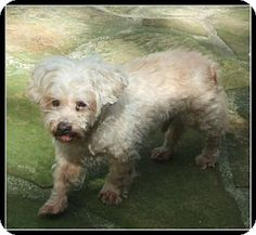 Gadsen, AL - Maltese/Toy Poodle Mix. Meet Martin (FL), a dog for adoption. http://www.adoptapet.com/pet/13920889-gadsen-alabama-maltese-mix