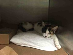 SUN DANCE - A1074944 - - Brooklyn  Please Share:   ***TO BE DESTROYED 05/29/16*** CALICO KITTEN NEEDS ANGEL TONIGHT! Beautiful SUN DANCE is just a baby girl at a year old. This petite little lady was brought into the shelter as a stray. Sun Dance is lost and confused, as can be seen in her photo. The poor love looks so sad! She allowed petting and handling, but was given an EXPNOCHILD rating for not liking her fanny touched. Sun Dance is HEALTHY. So why is the ACC chosing t
