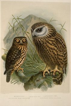 Delt & Lith - John Gerrard Keulemans,1842-1912: Morepork, Spiloglaux novae-zealandiae; Laughing owl, Sceloglaux novae-zelandiae. [Plate XX. 1888].