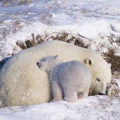 Baby Polar Bears, Cute Polar Bear, Grizzly Bears, Baby Pandas, Panda Bears, Bear Cubs, Cute Baby Animals, Animals And Pets, Funny Animals