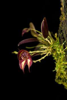 Lepanthes quadricornis Luer & R. Escobar