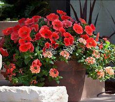 Deep rose petunia, euphorbia Diamond Frost, peach verbena