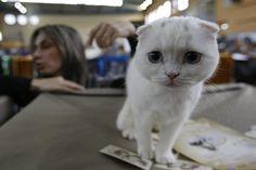 Top 15 Scottish fold cat pictures