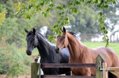 Donnerhall and Alabaster broodmares at Mount St John, a private estate in the North Yorkshire countryside that specializes in breeding dressage horses of the highest standard.