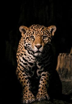 Beautiful Jaguar..my favorite cats perhaps, next to Cheetahs.  Who am I kidding? I like all of the cats, big and small.