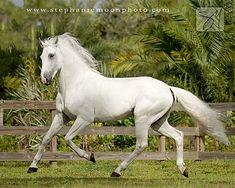 Lusitano | Lusitano stallion Xairo | Flickr - Photo Sharing!