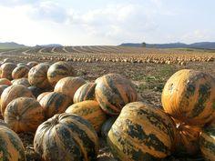 Kürbisfeld #kürbis #pumpkin Felder, Pumpkin, Vegetables, Food, Wine, Landscape, Pumpkins, Essen, Vegetable Recipes