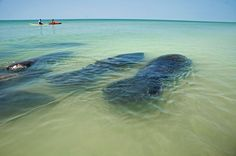 Pod of manatees, Indian Rocks Beach. St. Petersburg, Pinellas County, Florida - Google Search