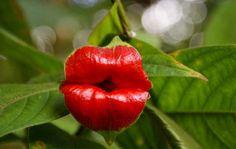 Psychotria-Elata1
