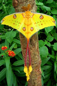 Madagascan Moon Moth pc | Butterfly House | Flickr