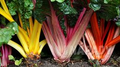 Pěstování mangoldu | Prima nápady Organic Plants, Organic Vegetables, Organic Gardening, Gardening Tips, Root Vegetables, Growing Swiss Chard, Biennial Plants, Rainbow Chard, Growing Veggies