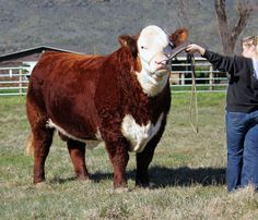 Sound, big footed and stylish Hereford, Country Art, Livestock, Cattle, Stylish, Animals, Tes, Gado Gado, Animales