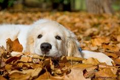 Autumn Slumber « Happiness is a Golden Retriever