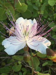 Kapern-Blüte im Juni #Apulien #www.fiancoafianco.eu