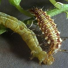 Good Bugs - Green lacewing larva.  info. from Evergreen Growers Supply, Australia.