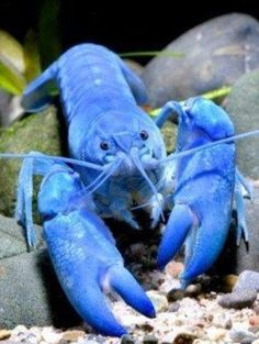 An extremely rare marine life-blue lobster in Brittany. A blue lobster is born in an average of 1 million lobsters, is comparable to the living fossil of rare marine life. The Animals, Water Animals, Underwater Creatures, Underwater Life, Underwater Photos, Underwater Photography, Film Photography, Street Photography, Landscape Photography