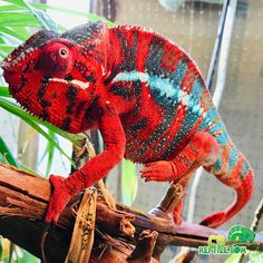 Buy panther chameleon for sale online. Panther chameleon breeders buy baby panther chameleons for sale near me. Best place to buy baby panther chameleons. Chameleon Pet, Veiled Chameleon, Cute Reptiles, Reptiles And Amphibians, Tropical Forest, Tropical Fish, Chameleons For Sale, Baby Panther, African Cichlids
