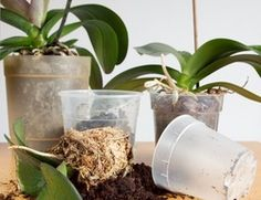 Some important tips for Repotting Orchids. When taking care of orchids  you have to repot your orchid plants carefully.