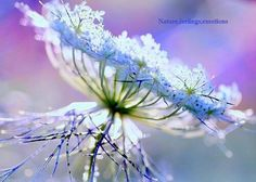 Queen Annes Lace Blue Flower, in the Garden. Love Flowers, Wild Flowers, Beautiful Flowers, Beautiful Things, Meadow Flowers, Beautiful Bouquets, Pastel Flowers, Fresh Flowers, Fabric Flowers