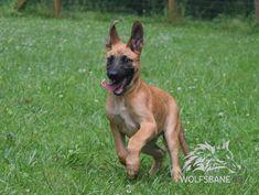 www.wolfsbaneK9.com Belgian Malinois  Puppy Standard Color