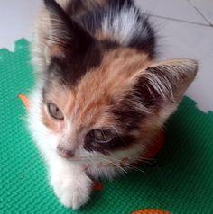 Kucing Belang Tiga Betina