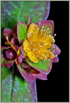 flowersgardenlove:  Purple St. John's Wo Beautiful