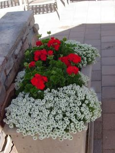 Geraniums + alyssum - a nice annual combination for landscape beds or containers. Alyssum can be planted from seed, late Spring, lasts through first frost, spreads to make nice filler (zones 3-9).