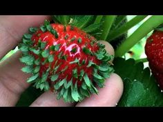 Growing tomato plants from seeds is not that difficult and it is extremely rewarding. Phenomenal Growing Tomatoes from Seeds Ideas. Growing Tomatoes From Seed, Growing Tomato Plants, Growing Seeds, Grow Tomatoes, Growing Veggies, Photo Fruit, Fruit Picture, Strawberry Seed, Strawberry Topping