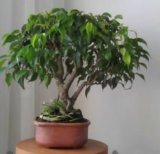 Best Indoor Garden Ideas for 2020 The number of internet users who are looking for… Bonsai Ficus, Mame Bonsai, Ficus Tree, Bonsai Art, Bonsai Plants, Bonsai Garden, Bonsai Trees, Garden Edging, Live Plants