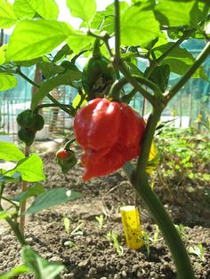 Burnt, Hot, Spicy– I am running away!– Understanding Chilli Pepper and Making Of Chilli Sauce List Of Peppers, Cooking Peppers, Cape Gooseberry, Haitian Food Recipes, Salsa Picante, Pepper Plants, Pepper Seeds, Hottest Chili Pepper, Stuffed Hot Peppers