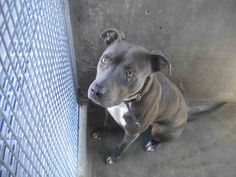 ★2/7/15 STILL THERE!!! PLEASE HELP!!★ •CA• SUEDE|3 YRS OLD|52LBS www.PetHarbor.com pet:LACT.A1506064