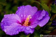 Image result for VARIETIES OF HIBISCUS