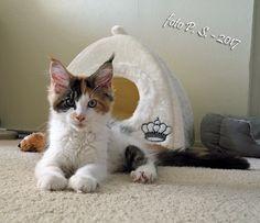 """Ons nieuwe huisgenoot """"Birba"""". kitten, maine coon, poesje, huisdier, pet,"""