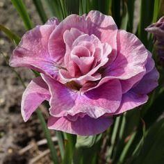 Iris siberica 'Pink Parfait'