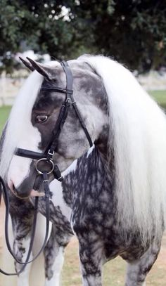 Dapple Grey Pinto Paint Gypsy Vanner Horse Stallion Gelding Mare