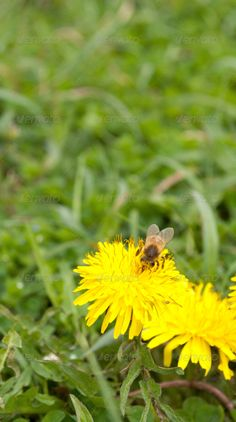 Bee on the yellow dandelion ...  active, animal, bee, biology, blurred, busy, close, close up, close-up, closeup, collect, dandelion, defenses, eating, engaged, enjoy, field, flower, fly, focus, freedom, gathering, grass, green, healthy, honey, honey-bee, insect, leaf, marguerite, meadow, nature, nectar, nourishment, outdoor, paradise, petals, plant, pollen, productive, selective, spring, summer, sweet, up, working, worth, yellow