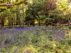 Wandering Through The Bluebell Wood In Ashridge British Countryside, Disney S, Live Action, Wander, Natural Beauty, Vineyard, Cinderella, Country Roads, Earth