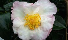 Daydream camellia sasanqua. Fall winter flowering, white with pink edge.