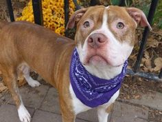 TO BE DESTROYED - 11/24/14 Manhattan Center - P My name is TYSON. My Animal ID # is A1018907. I am a male brown and white pit bull mix. The shelter thinks I am about 1 YEAR 6 MONTHS old. For more information on adopting from the NYC AC&C, or to find a rescue to assist, please read the following: http://urgentpetsondeathrow.org/must-read/