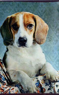 Vintage beagle postcard   via postcardcity