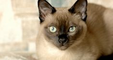Tonkinese The results of the pairing of a Siamese and Burmese, the Tonkinese has the slender good looks and happy-go-lucky personality that any cat-lover would be pleased to bring into their family. This breed is known for its quick ability to solve puzzle toys, learn new tricks and even walk on a leash. It loves to be high up and will keep its pet-parent amused with its clownish antics and full-of-life attitude.