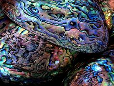 Kaikoura Southern Paua Shell
