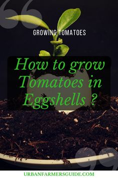 How to grow Tomatoes in Eggshells ? Have you ever wondered if using eggshells will help you have a healthier tomato plant? Crushed egg shells are an exceptional way to add calcium and nutrients to the soil. Growing Tomatoes Indoors, Growing Vegetables, Growing Plants, Grow Tomatoes, Healthy Liver, Tomato Seeds, Tomato Plants, Egg Shells, Superfoods