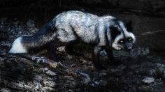 Silver Fox, emphasis on silver. This is definitely the night time fox. Photo by Tracy Munson