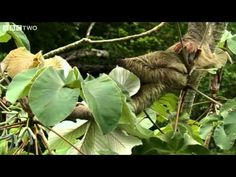Why Sloths are Weird - Secrets of our Living Planet - Episode 1 - BBC Two - YouTube