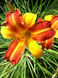 17 juli 2014. Vanmorgen nam ik tijdens mijn wandeling een andere route en kwam prompt deze prachtige, kleurrijke bloem tegen. Lichtpuntje, niet?