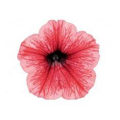 Petunia Surfinia Hot Red Petunia Surfinia, Hot Pink, Red, Inspiration, Beautiful, Beautiful Flowers, Replant, Pink Color, Biblical Inspiration