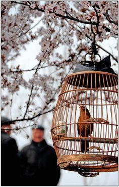 The birdmen of Beijing take their pets to the park and hang their cages on low-hanging branches. Wang Chun / for China Daily • The hobby of walking pet birds has been popular in China since the Qing Dynasty (1644-1911) and this old tradition continues with many people still taking pleasure from this simple outdoor activity.